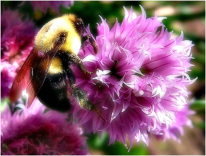 Pollen  de Zayed